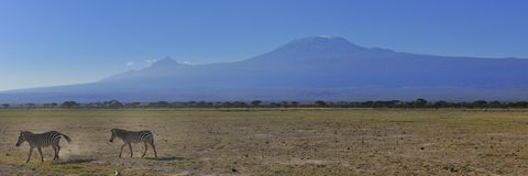 Zebra and Mt kilimanjaro. Panorama image of zebra and Mt kilimanjaro in Amboseli National park Kenya Stock Images