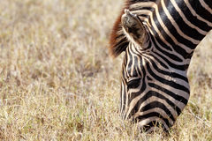 Zebra musing in the grass. Close up of a Zebra musing in the grass stock photos