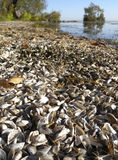 Zebra Mussel Beach. The shells of Zebra Mussels (Dreissena polymorpha), an aquatic invasive species (AIS) pile up on windrows on the beach of lake, causing Royalty Free Stock Image