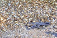 Zebra mussel shells Stock Photos