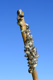 Zebra Mussels on a Branch stock image