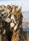 Zebra Mussels Stock Photos