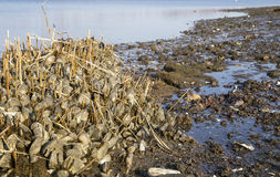 Zebra Mussels. Photograph of zebra mussels washed ashore in the spring time royalty free stock image