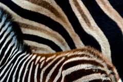 Zebra-Muster Stockbild