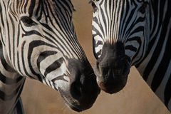 ZEBRA MUZZLES CLOSE TOGETHER. Two zebra standing with heads close together Royalty Free Stock Photos