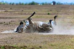 Zebra één het stof bij masaimara nationaal park Royalty-vrije Stock Afbeeldingen