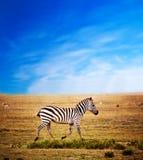 Zebra na Afrykańskiej sawannie. zdjęcie stock