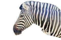 Zebra na białym tle Fotografia Royalty Free