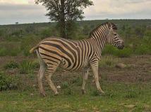 Zebra na chmurnym dniu w Kruger obraz stock