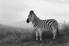 Zebra na chuva Imagens de Stock