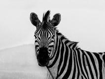 Zebra na chuva Imagem de Stock