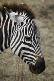Zebra na cratera de Ngorongoro Imagem de Stock Royalty Free