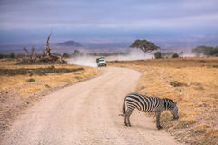 Zebra na estrada Fotografia de Stock Royalty Free