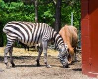 Zebra na exploração agrícola do salvamento Fotografia de Stock Royalty Free
