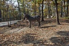 Zebra na gaiola na Sérvia 05 de Bor do JARDIM ZOOLÓGICO foto de stock royalty free