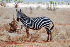 Zebra na grama Imagem de Stock Royalty Free