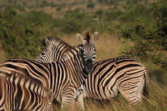 Zebra na grama Imagem de Stock