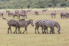 Zebra na grama (Masai Mara; Kenya) imagem de stock