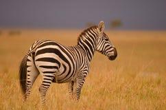 Zebra na luz dourada Fotografia de Stock