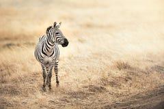 Zebra na luz solar da tarde fotos de stock royalty free