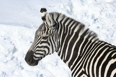Zebra na neve 2 Fotos de Stock Royalty Free