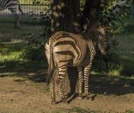 Zebra na noite ensolarada sob árvores foto de stock royalty free