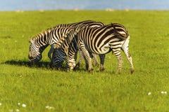 Zebra na obszarze trawiastym w Afryka Obraz Royalty Free