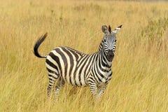 Zebra na obszarze trawiastym w Afryka Zdjęcia Royalty Free