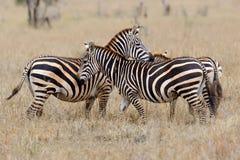 Zebra na obszarze trawiastym w Afryka Zdjęcia Stock