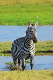 Zebra na obszarze trawiastym w Afryka Zdjęcie Royalty Free