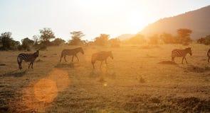 Zebra na obszarze trawiastym w Afryka Zdjęcie Stock