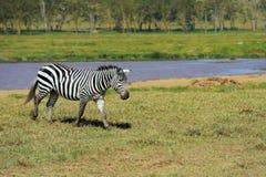 Zebra na obszarze trawiastym w Afryka Obrazy Royalty Free