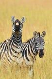 Zebra na obszarze trawiastym w Afryka Obrazy Stock