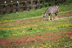Zebra na obszarze trawiastym w Afryka, park narodowy Kenja Zdjęcia Royalty Free