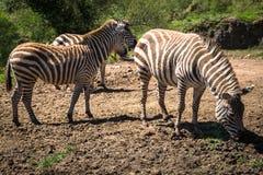 Zebra na obszarze trawiastym w Afryka, park narodowy Kenja Zdjęcia Stock
