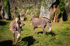 Zebra na obszarze trawiastym w Afryka, park narodowy Kenja Obraz Stock