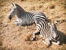 Zebra na palha no jardim zoológico de Safari World, Tailândia Fotografia de Stock