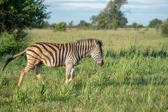 Zebra na południe - afrykańska sawanna zdjęcie royalty free