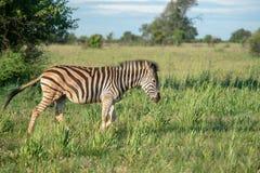 Zebra na południe - afrykańska sawanna obraz royalty free