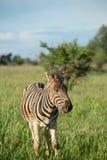 Zebra na południe - afrykańska sawanna zdjęcie stock