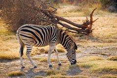 Zebra na safari w Południowa Afryka Zdjęcia Royalty Free