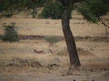 Zebra na Tarangiri safari - Ngorongoro Fotografia Royalty Free