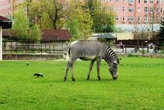 Zebra na trawie zdjęcie stock