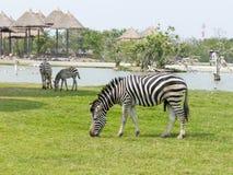 Zebra na trawy polu Fotografia Royalty Free