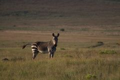 Zebra na trawy równinie Obraz Royalty Free