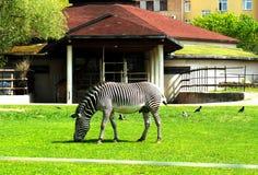 Zebra na zielonej łące fotografia stock