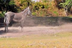 Zebra nachdem dem Rollen im Staub Lizenzfreies Stockfoto