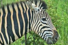 Zebra nah oben in Südafrika Lizenzfreie Stockfotografie