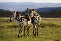Zebra of Nakuru Stock Image