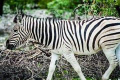 Zebra, Namibië, Afrika Stock Foto's